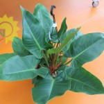 Philondendron imperial