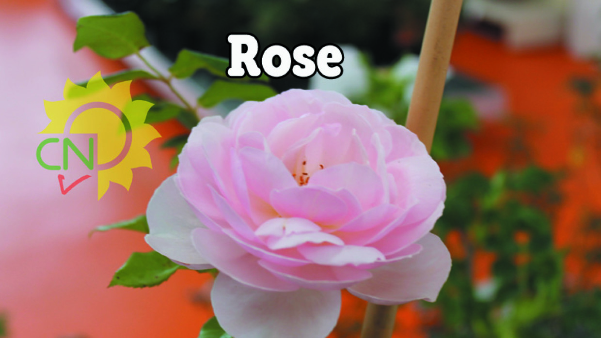 Rose – catalogo 2015
