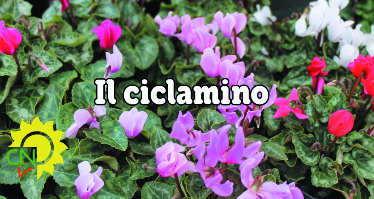 Beautiful Il Ciclamino